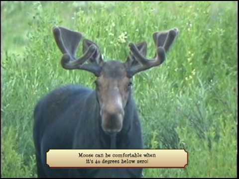 Hey, Mr Moose