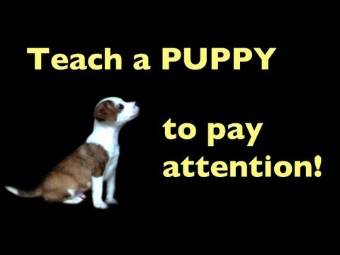 Get your puppies attention! - Clicker dog training