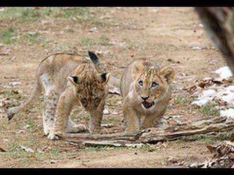 Behind the Scenes with the National Zoo's Lion Cubs