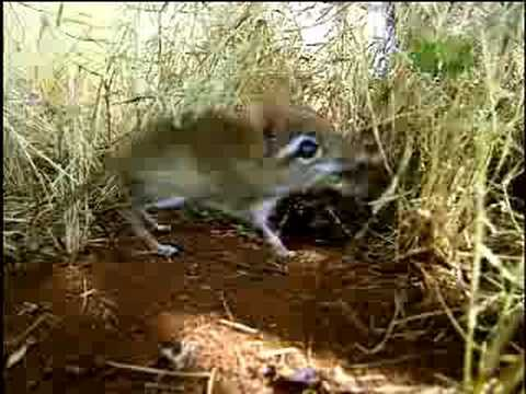 Fooled by Nature - Elephant Shrew Navigator