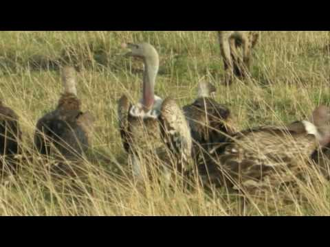 Vultures - Safari Sunday