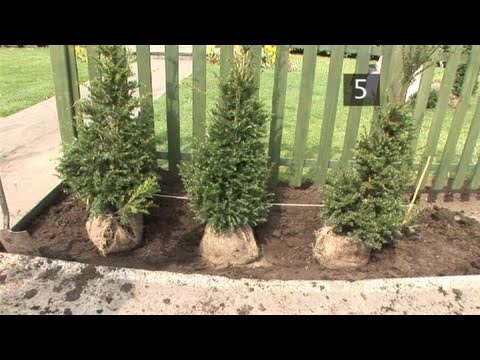How To Learn Planting Evergreen Hedge