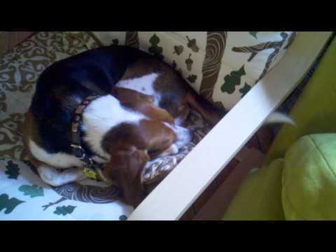 Sleeping Beagle Tail Wagging