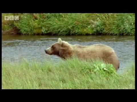 Deliberately scaring a bear - Bear Whisperer - BBC animals