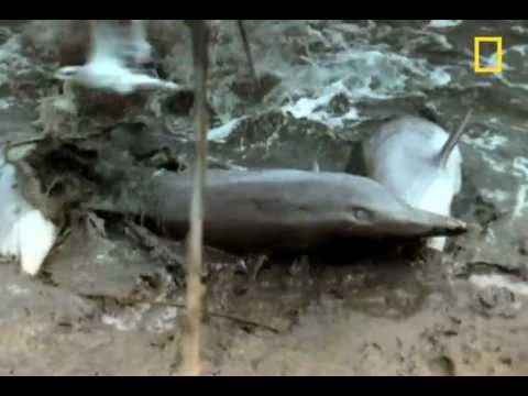 Dolphins Come Ashore to Hunt