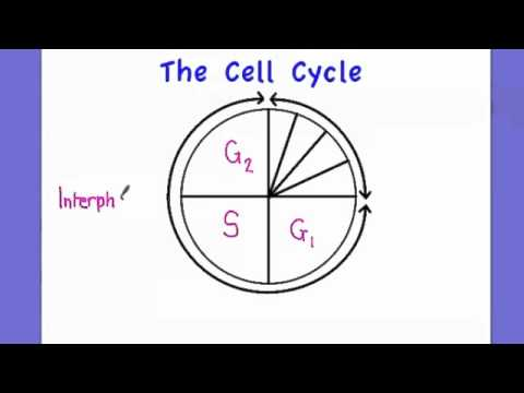 2.5.1 Outline the cell cycle