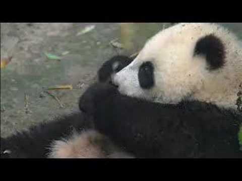 SPRING BREAK CROWDS ENJOY SEEING BABY PANDA IN NEW QUARTERS