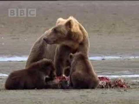 Missing black bear cub - animals of Alaska - BBC wildlife