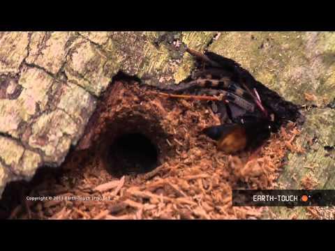 Spider wasp VS rain spider