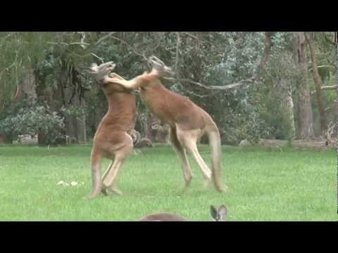 Kick Boxing Kangaroos