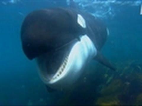 Orcas Communicating   Wild Kingdom