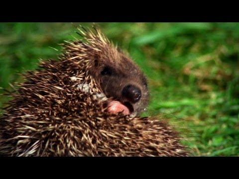 World's Weirdest - Hedgehogs Love Poisons