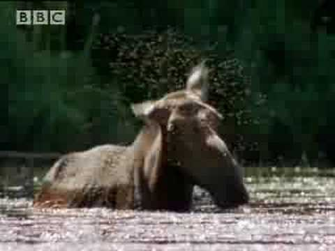 BBC: A Moose Named Madeline - Black Fly Attack