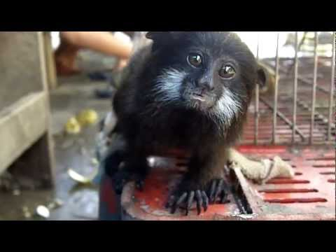 illegal animal trade- A saddle back tamarin (monkey)