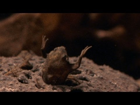 World's Weirdest - Baby Toads Born from Mom's Back