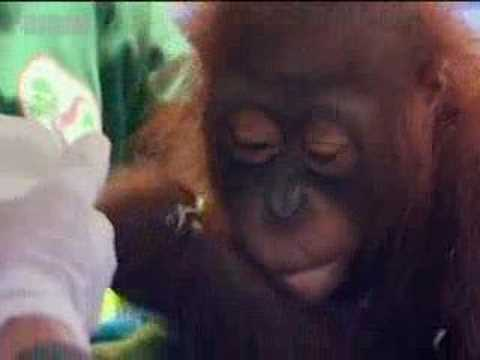 Endangered animals - Steve Leonard goes in search of a captive baby orangutan - BBC wildlife