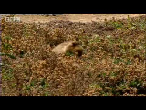 Graham Norton meets endangered Ethiopian Wolves & Mole Rats - Saving Wolves - BBC animals