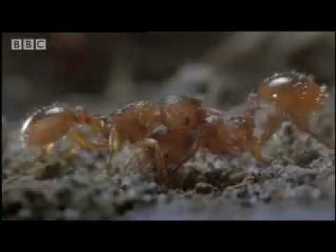 Butterfly eggs and caterpillar survival - Life in the Undergrowth - BBC Attenborough