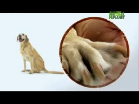 Dogs 101 - Labrador Retriever