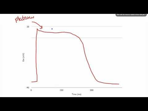 047 Action Potentials and Contraction in Cardiac Muscle Cells