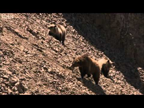 Fighting Grizzlies - Yellowstone - BBC