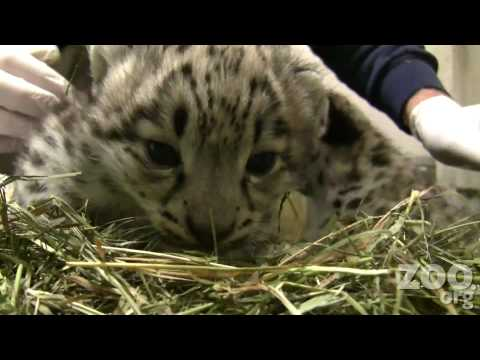 Cute Baby Snow Leopards at Woodland Park Zoo