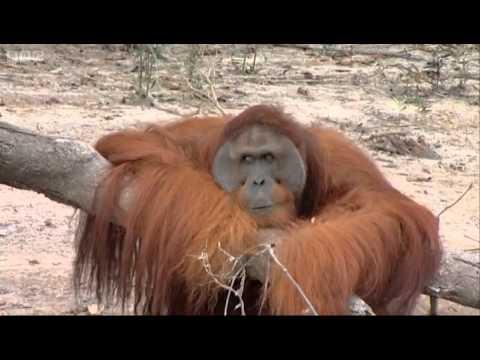 Hercules the Orangutan - Orangutan Diary - BBC