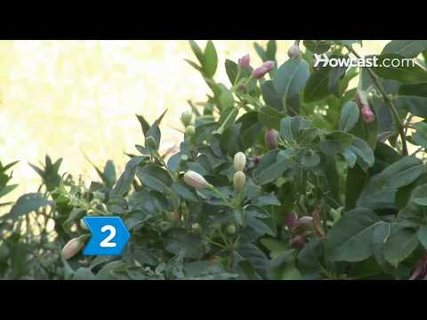 How to Care for Fuschia Plants