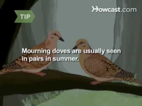 How To Identify Birds: the Mourning Dove