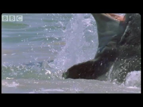 Dolphins Herd Mullet - Blue Planet - BBC wildlife
