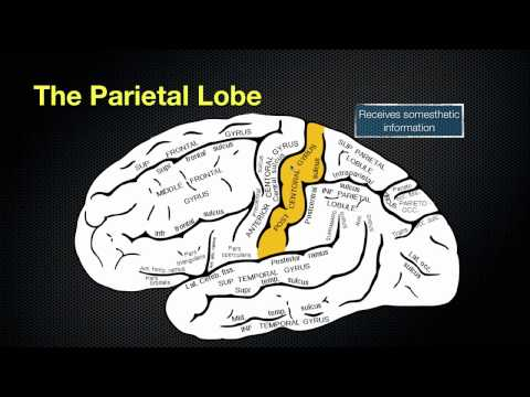 066 The Anatomy and Function of the Parietal Lobe