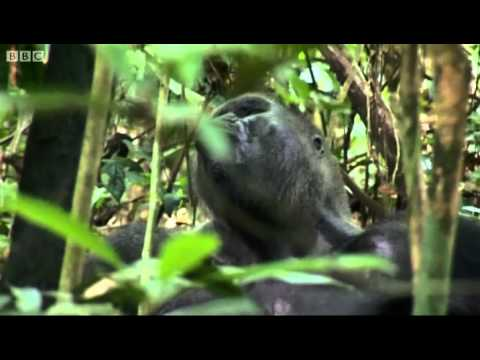 Gorilla display - Secret Gorillas of Mondika - BBC