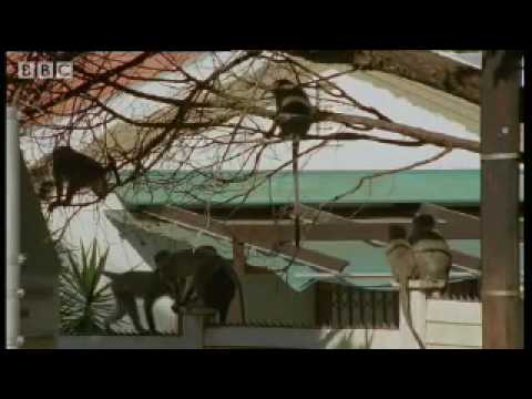 Monkey fight! - Cheeky Monkey - BBC wildlife