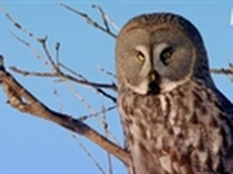 Viking Wilderness - Owl Snipes a Vole