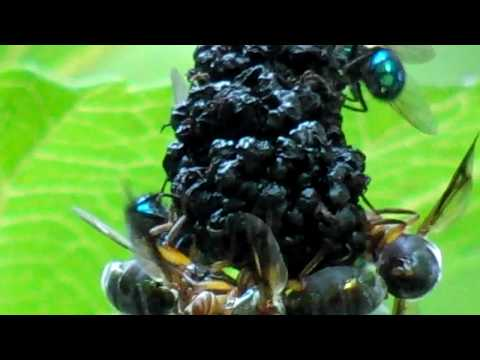 1/2 inch MULBERRY Life Video Wasps and Flies HD High Definition SUPER ZOOM