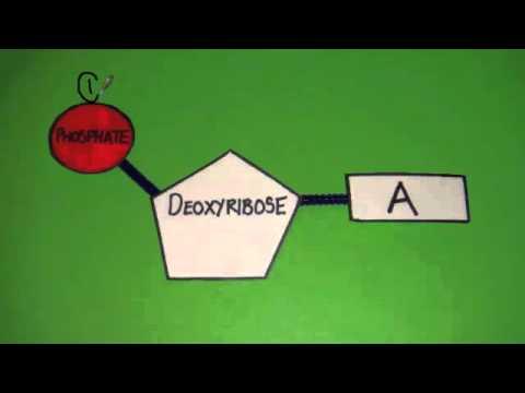 3.3.1 Outline DNA Nucleotide Structure