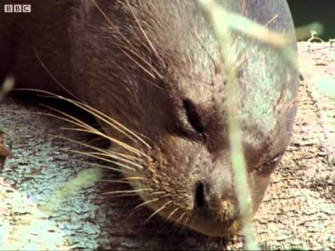 Giant otters sunbathing - Wildlife on One - BBC