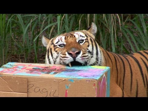 BIG CATS ATTACK! - Cardboard Carnage!