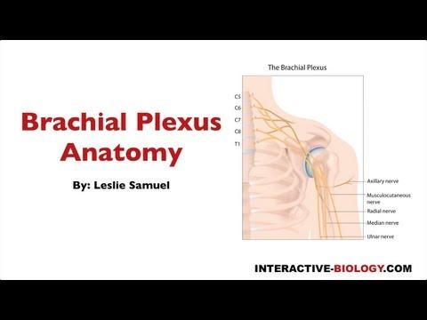 092 Brachial Plexus Anatomy