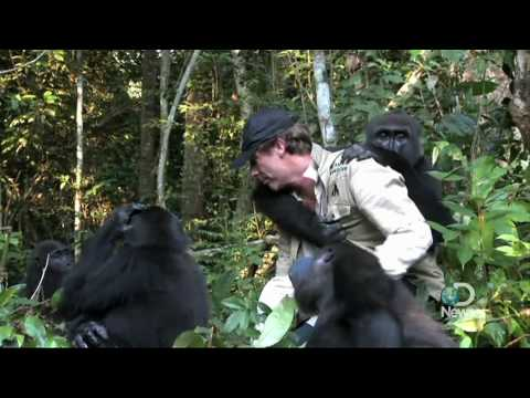 Extraordinary Gorilla Encounter Explained