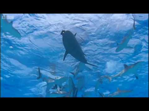 Can Roboshark fool the reef sharks? - BBC