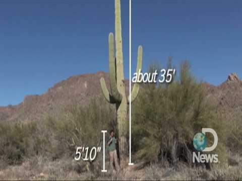 Saguaro Cactus Symbolizes Southwest