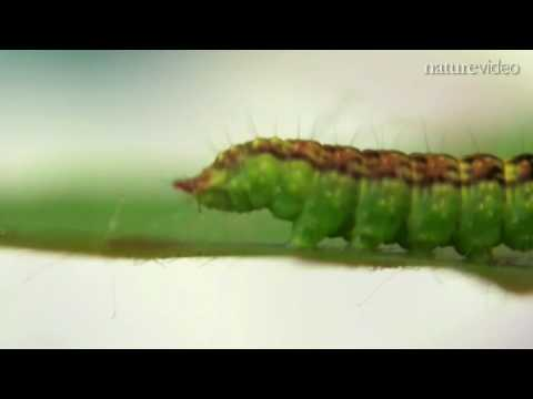 Caterpillar 'talking' from walking: by Nature Video