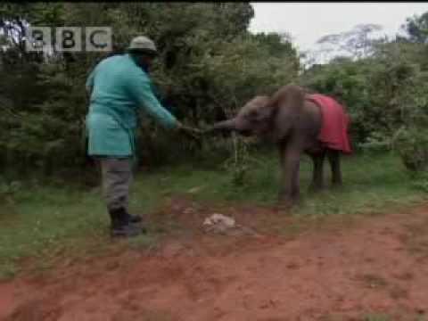 Abandoned baby elephant struggles for survival - BBC wildlife