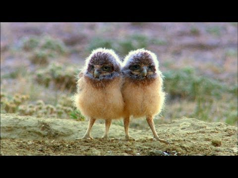Kings of the Prairie - The Burrowing Owl's Cozy Home