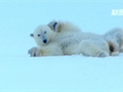 Polar Bear: Spy on the Ice- Polar Bear Courtship
