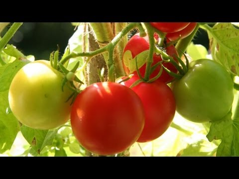 Roast Cherry Tomato Recipe GardenFork.TV
