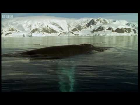 Fur seals and whales feast on Krill - Blue Planet - BBC