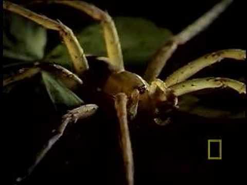 Spider Eats Frog!