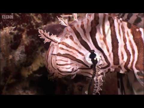 Venomous Lionfish - Oceans - BBC